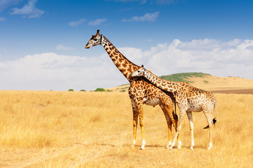Giraffe and calf standing together in savanna