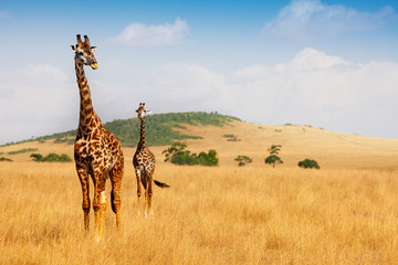 Photo sur Aluminium Girafe Masai giraffes walking in the dry grass of savanna