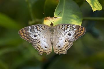 Butterfly 2017-53 / Butterfly on a broken leaf