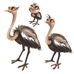 Maturation stages of ostrich, stages of growth