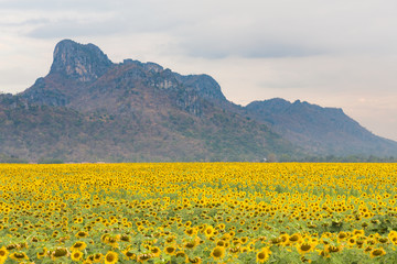 Big sunflower field with mountain natural landscape background