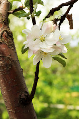 the flowers of the apple tree