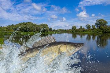 Zander fish jumping with splashing