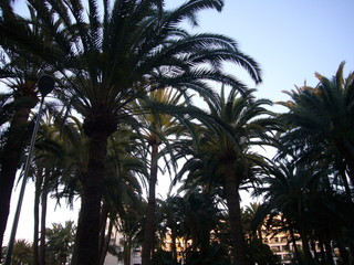 Gran Canaria Palme