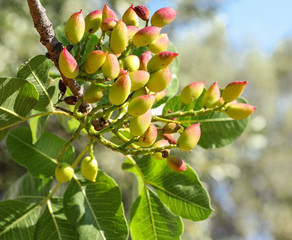 Growing pistachios on the branch of pistachio tree.