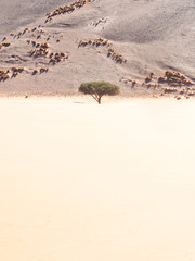 Tree growing on the Dune 45, Namib-Naukluft National Park, Namibia.