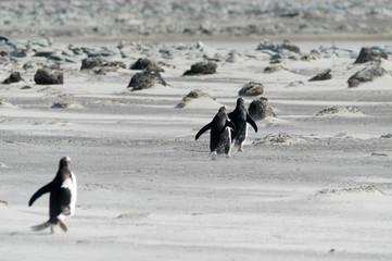 Eselspinguine auf Sealion Island der Falklands