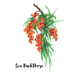 Watercolor hand drawn illustration of sea buckthorn. Raster design element
