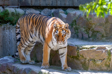 animal of a big tiger at the zoo