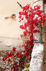 Beautiful red colored flowers climbing against the wall