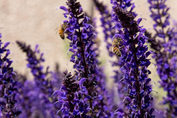 Honey bees on tall, purple, flowering Lupine
