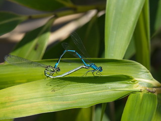 Libelle Vermehrung - Dragonfly procreation