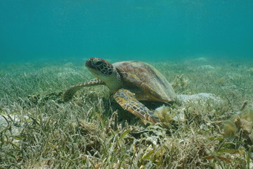 Under water green sea turtle, Chelonia mydas, on a grassy seabed, south Pacific ocean, lagoon of Grand-Terre island in New Caledonia, Oceania
