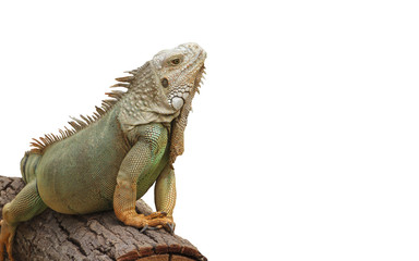 Green iguana on branch isolate on white background.
