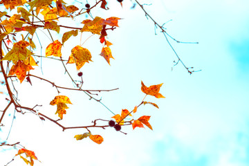 Wall Mural - Beautiful autumn leaves and sky background in fall season, Colorful maple foliage tree in the autumn park, Autumn trees Leaves in vintage color tone.