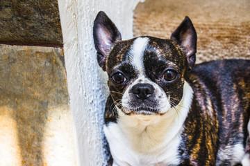 Boston Terrier dog photograph