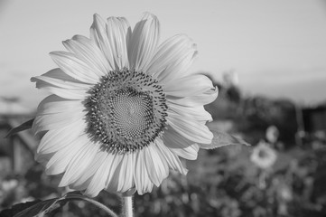 The morning sun shines on the blooming sunflower.