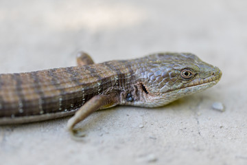 Adult California Alligator Lizard - Elgaria multicarinata multicarinata. Santa Clara County, California, USA.