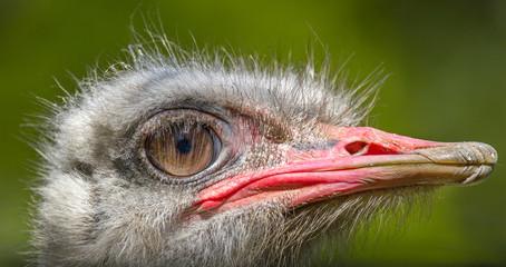 animal big bird of an ostrich