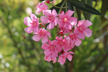 Nerium oleander Beautiful blossoms, of fragrant pink flowers in bunches