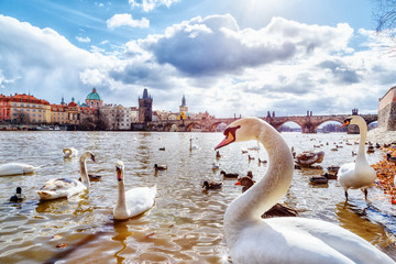 White swans and ducks on Vltava river, towers and Charles Bridge in Prague, Czech Republic. Clear spring sunny day scenery with blue sky, sun and clouds.