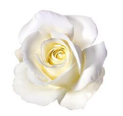 Keuken foto achterwand Roses white rose isolated on white