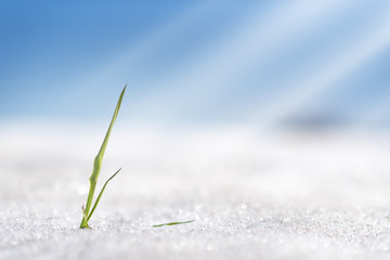 Blade of grass in snow