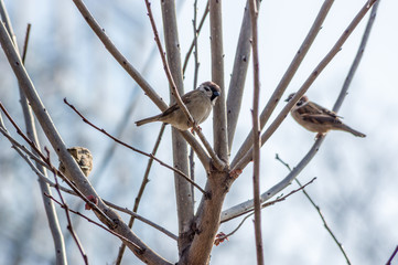 sparrows on branches