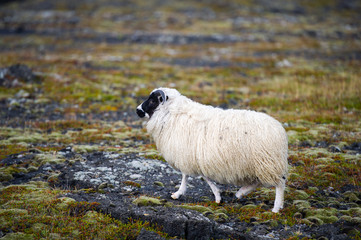 White Woolly Sheep in Iceland