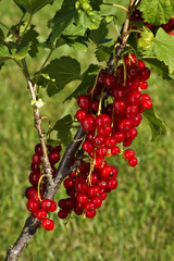 Red currant (Ribes rubrum), fruit on the bush outdoors