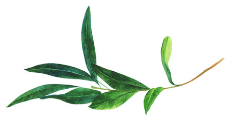 Watercolor drawing of green olive branch, isolated on white