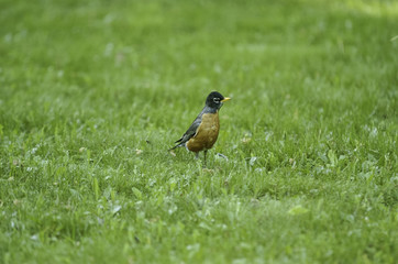 American Robin on grass 2