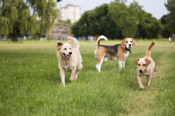 Three dogs playing in park. Beagle and two stray dogs.
