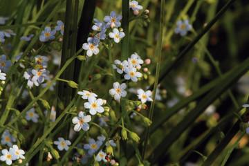Florecilla azulada de arroyo, Sauceda, Hurdes, España