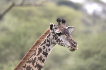 Giraffe Portrait, Serengeti