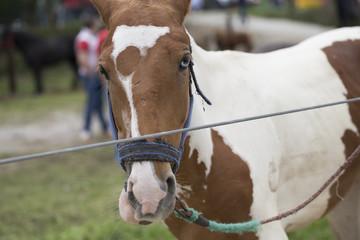 Horse with Heterochromia Iridum