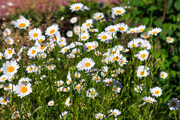 Photos of camomiles in Sunny day. A lot of daisies on a green background. Summer flowers in clear weather. The texture of the flowers with natural background.