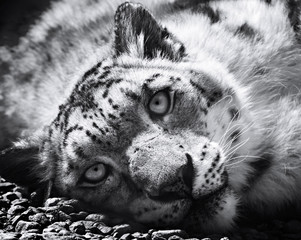 Wall Mural - Snow leopard, irbis, black and white ( panthera uncia, uncia uncia)