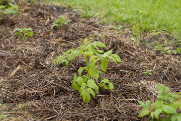 Young green raspberries in the spring with a straw mulch