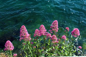 Pink flowers against water
