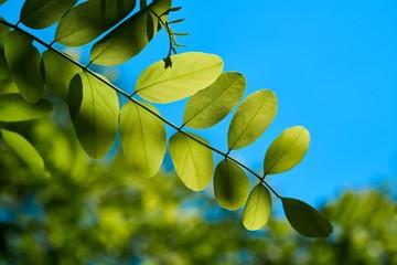 Blätter einer Robinie im Frühling