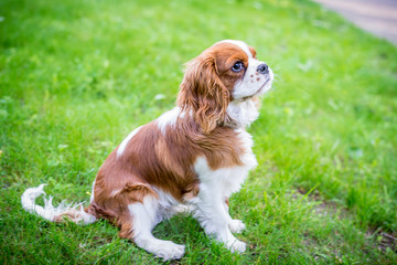 A beautiful little dog breeds a spaniel sitting on a green meadow. Horizontal frame
