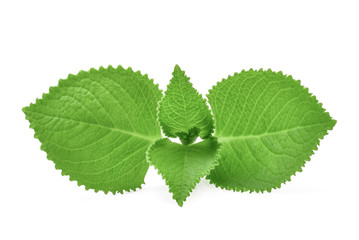 Green Leaves (Country Borage,Indian Borage,Coleus amboinicus Lour( Plectranthus amboinicus (Lour.)) isolate on white background.