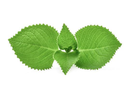 Green Leaves (Country Borage,Indian Borage,Coleus amboinicus Lour( Plectranthus amboinicus (Lour.)) isolate on white background.