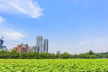 上野の蓮と青空