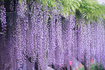 Strands of Wisteria flowers in evening  light