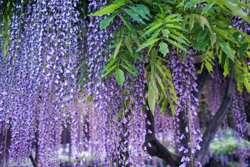 Wisteria flowers with leaves in evening  light