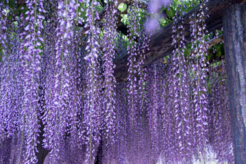 Wisteria flower layers in evening and artificial light