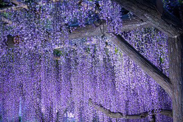 Wisteria flowers in evening and artificial light