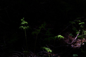 Highlighted green fern leaves in a dark forest